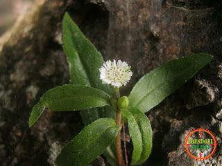 Bunga liar putih di Tanah Tandus
