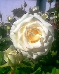 Rosa da Terra Quente