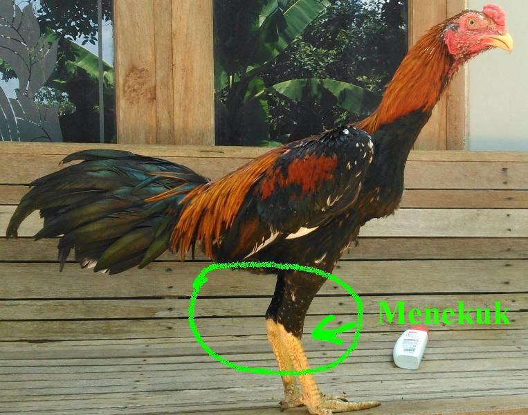 Ciri-Ciri Kaki Ayam Kuat dan Pukul Keras | Ayam Juara