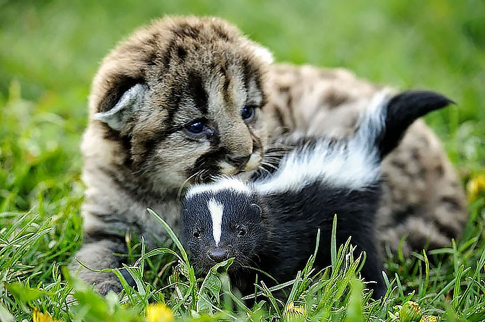 #19 Lion Cub And Baby Skunk - Unusual Animal Friendships That Are Absolutely Adorable!