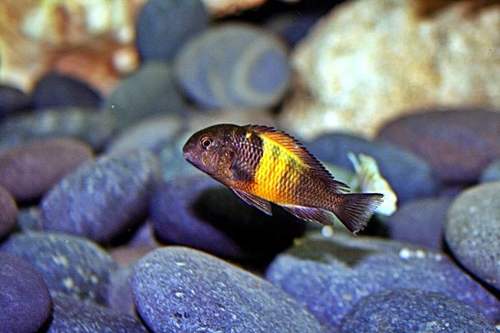 Mengenal Ikan Tropheus Moorii