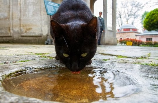 black cat drinking from puddle