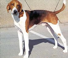American Foxhound Pictures