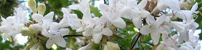 Annieinaustin, White Abelia Barline