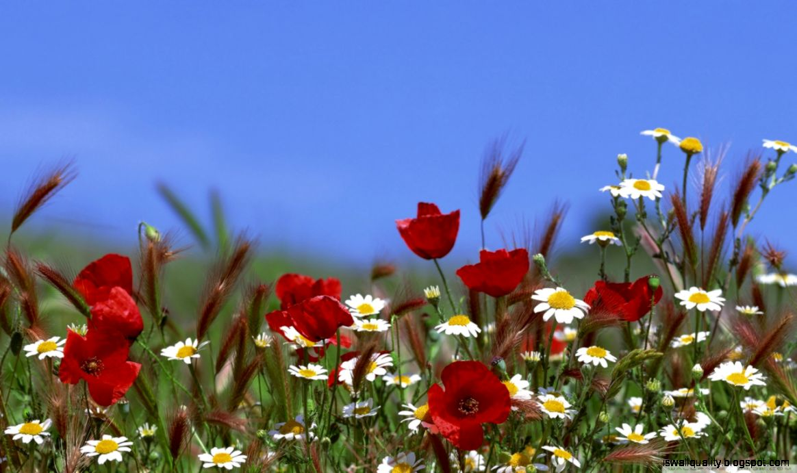 View Original Size Summer Flowers Wallpapers Free HD Desktop