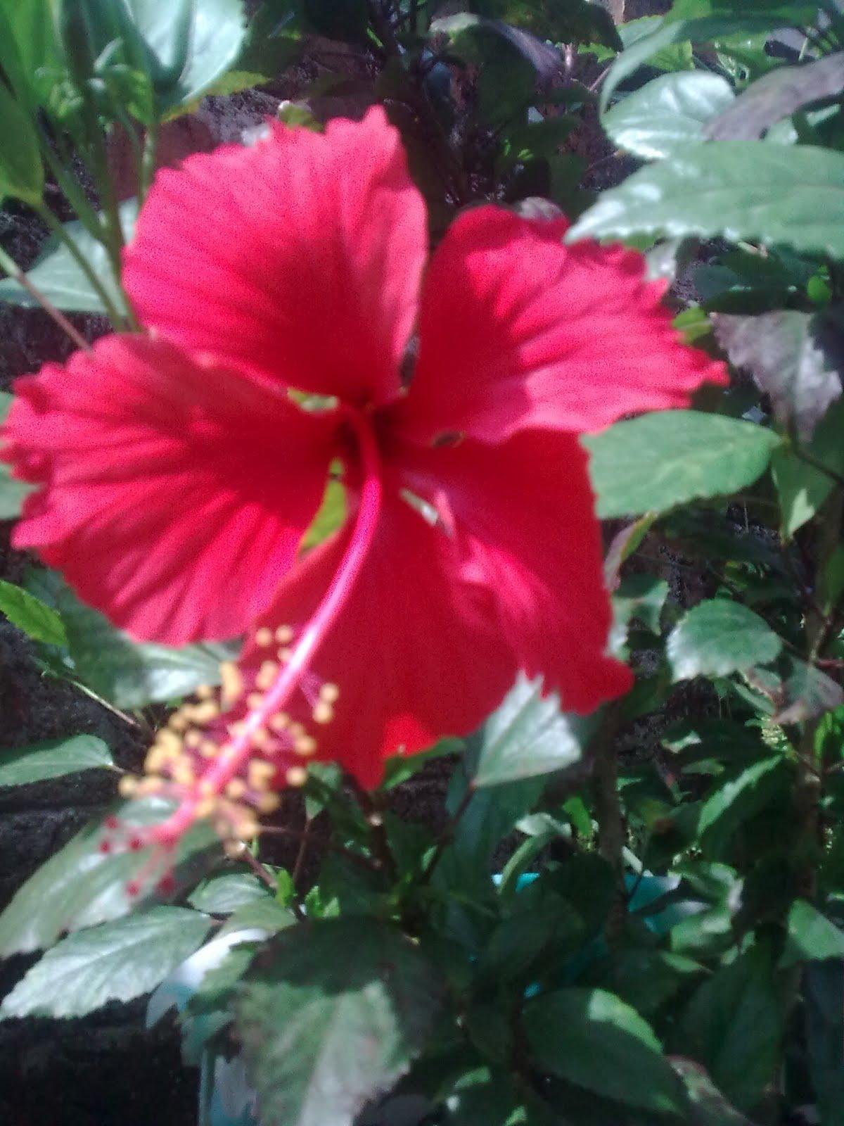 The creativity in me art of gardening red hibiscus izmirmasajfo