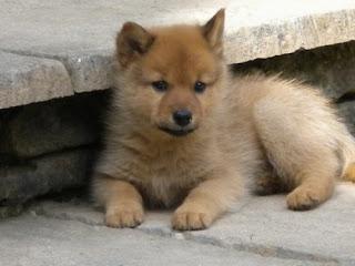 Finnish Spitz Puppy Picture