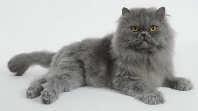Gambar Kucing Persia lagi tiduran
