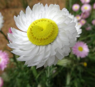 Splendid Everlasting (Rhodanthe chlorocephala)