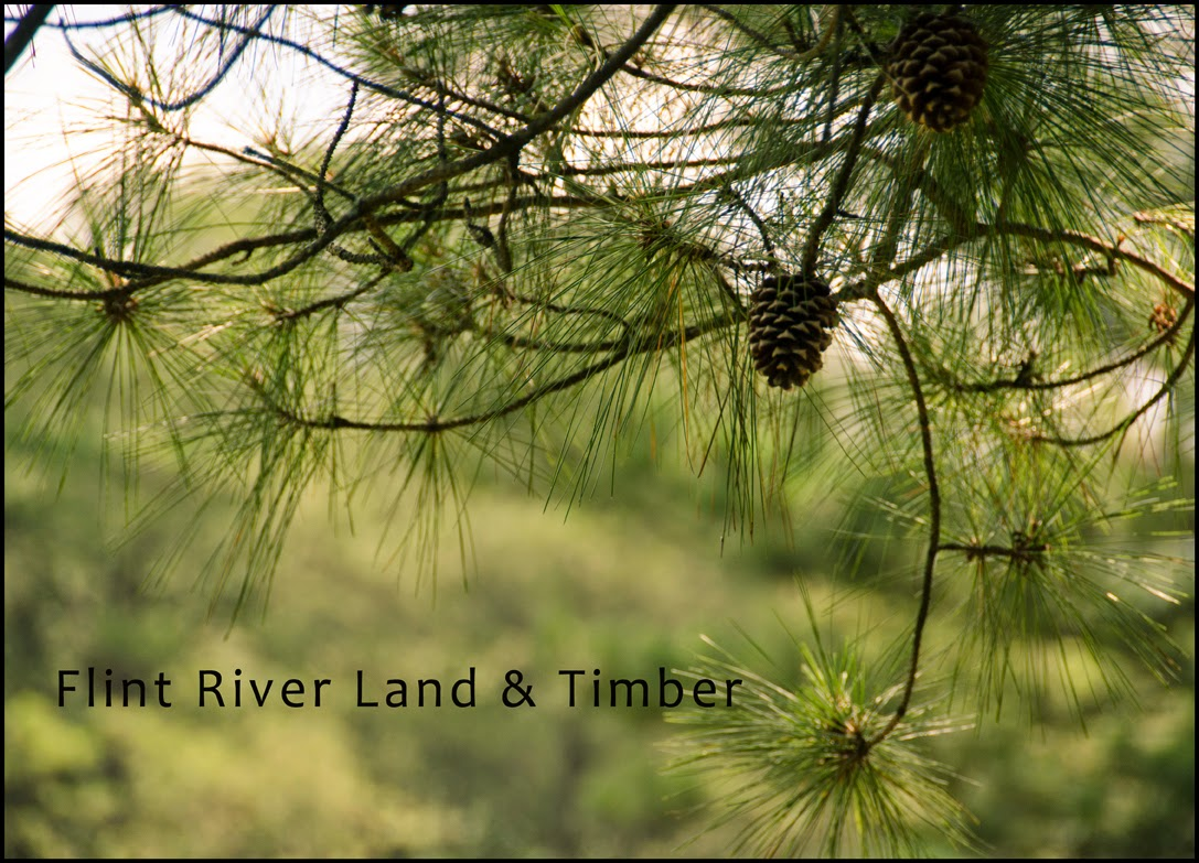 Flint river land and timber blog Pine tree timber
