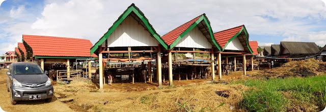 Pasar Hewan Bolu Toraja Sulawesi Selatan