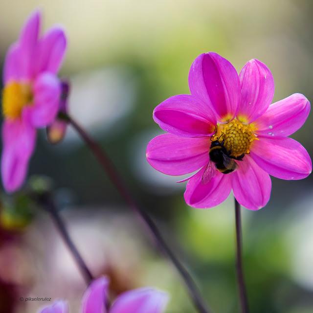 kolor, kwiaty, lato, agata raszke, polska, różowy, obraz, bąk, pink, colours, flowers, nature