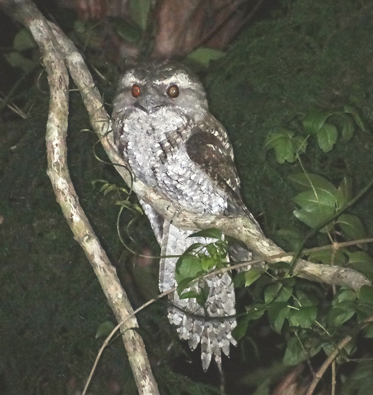 Sunshinecoastbirds Marbled Frogmouth Amp Tawny Frogmouth