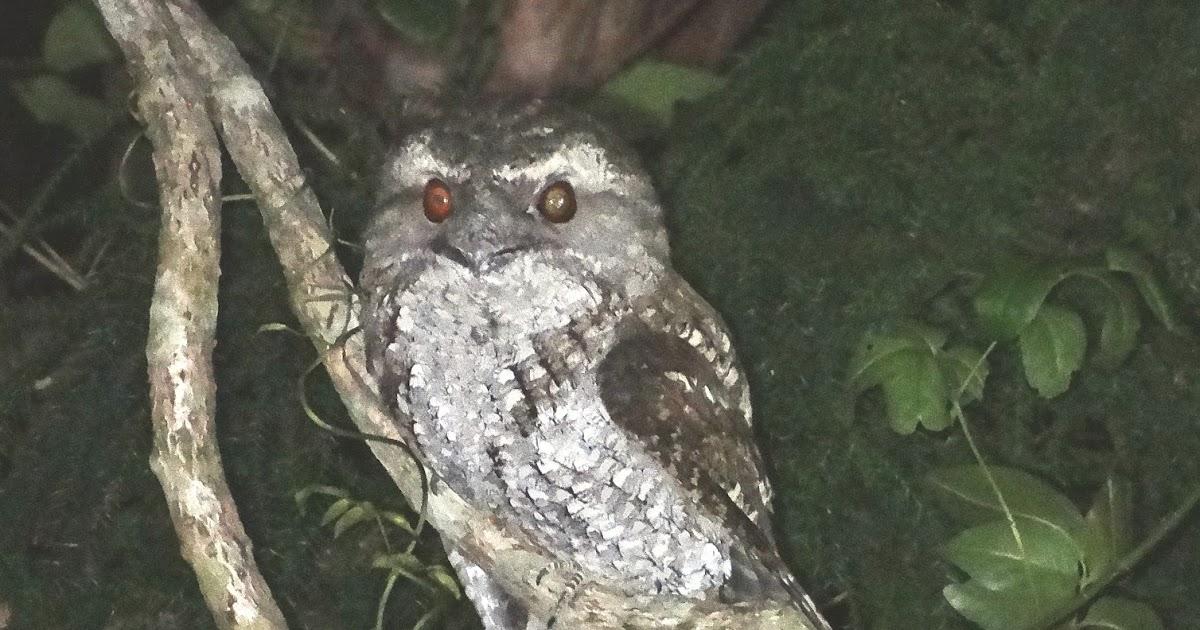 Sunshinecoastbirds Marbled Frogmouth Amp Tawny Frogmouth