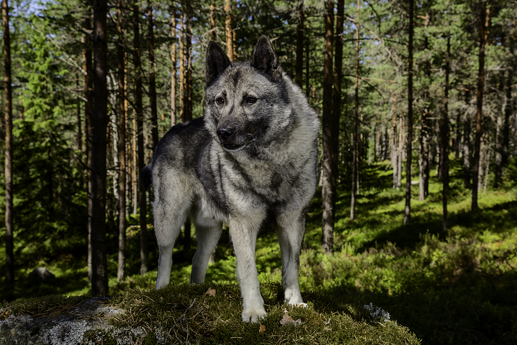 the norwegian elkhound moose hunter the shepherd s realm