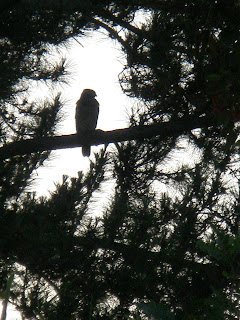 Hawk in tree near my porch, Copyright 2012, Kaliani Devinne