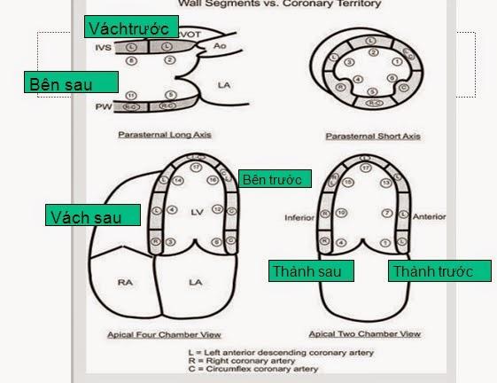 Phân vùng 17 vùng cơ tim theo Hiệp hội siêu âm Hoa Kỳ