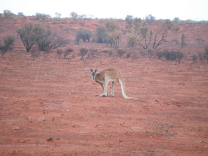 Big Red male kangaroo in a burnt swaile