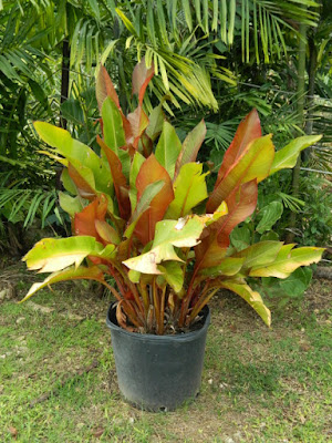 Container of canna lilies at Orchid World Barbados by garden muses-not another Toronto gardening blog