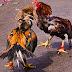 Cara merawat ayam bangkok petarung yang baik dan benar