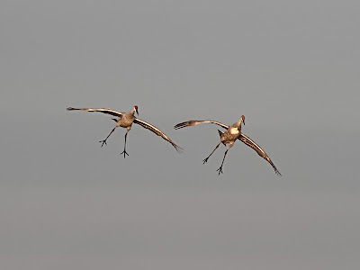 Sandhill Cranes coming in for a Landing