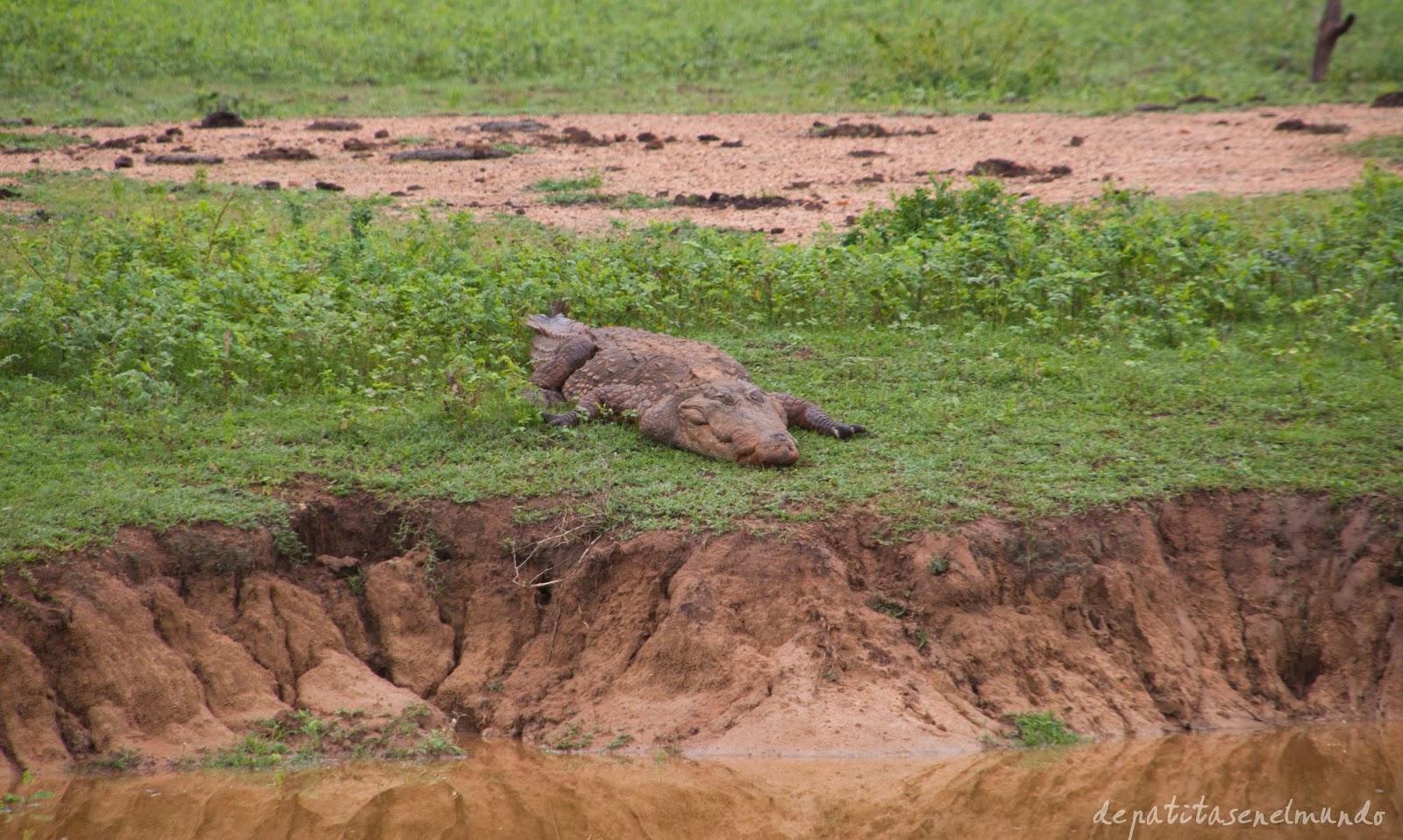Pavo real y cocodrilo en Yala, Sri Lanka