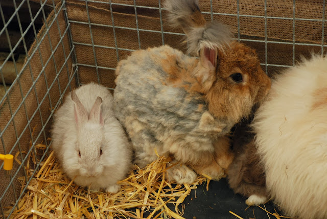 image of  Angora Rabbits