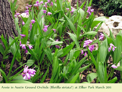 Annieinaustin, Ground ORchids at Zilker Park