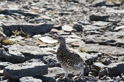 Lagopus leucura – White-tailed Ptarmigan on Fremont Lookout
