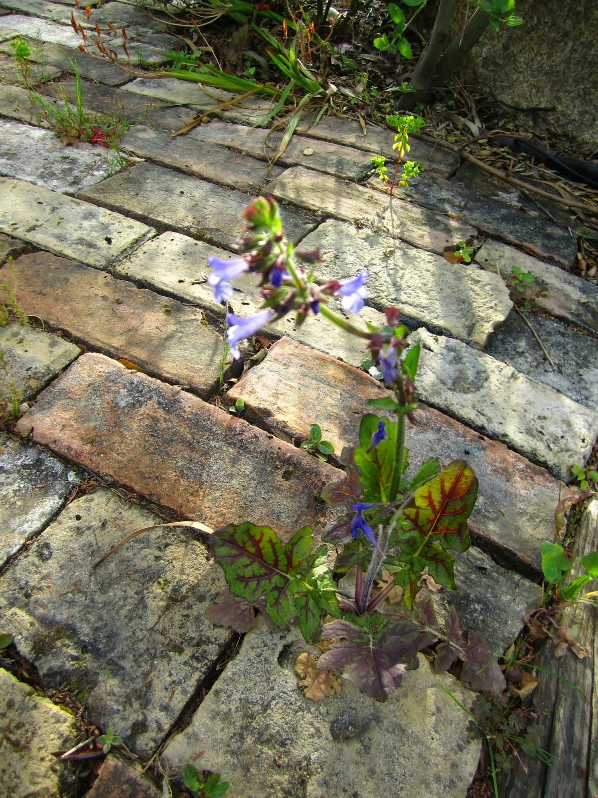 Tenacia: fiori tra le pietre - by Delia - Furighedda gardening
