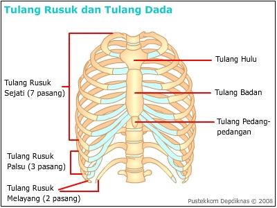tulang rusuk,rib