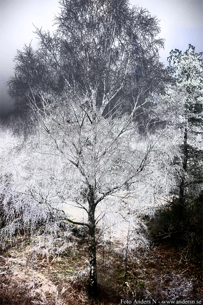 träd, frost, frostig, frostigt, frost, frosty, tree, snow, snö, is, ice, winter, forest, woods, skog, dunge, natur, nature, tsyfpl, foto anders n