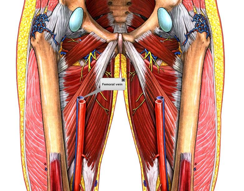 Contemporáneo Vena Femoral Ornamento - Anatomía de Las Imágenesdel ...