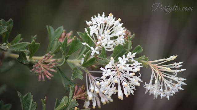 Grevillea tenuiflora (Lindl.) Meisn. Tassel Grevillea