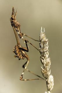Para ampliar Empusa pennata (insecto palo, diablillo) hacer clic
