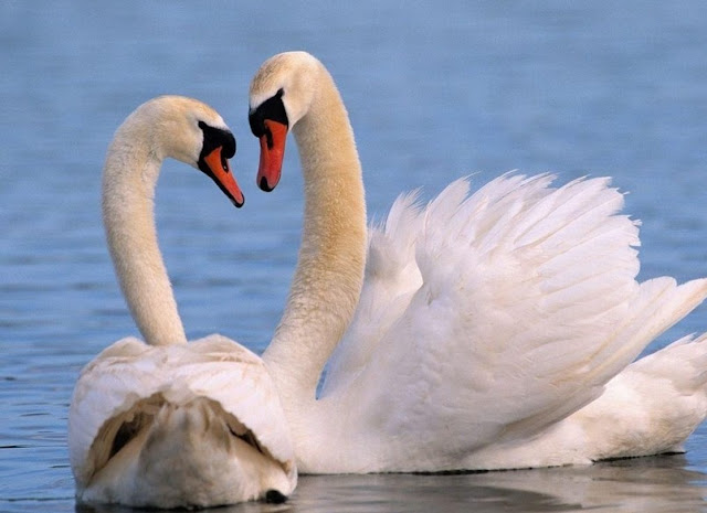 Swans-wild-animals