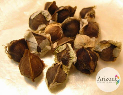 Moringa Seeds, Arizone International LLP, Vapi, Gujarat, India