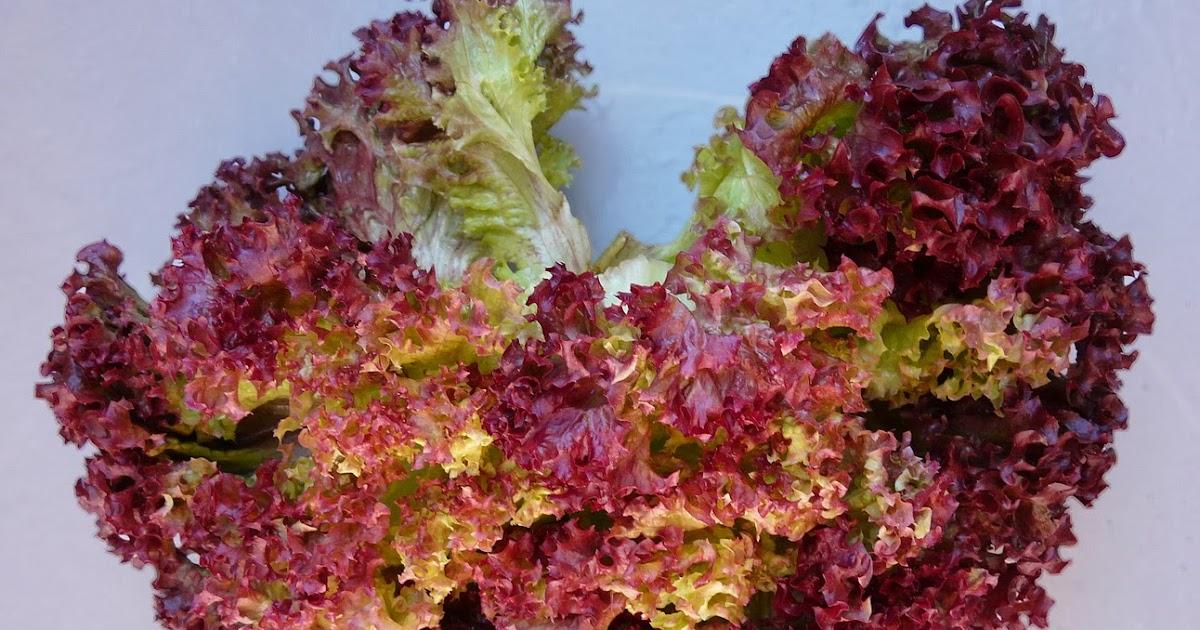 seminte si plante de gradina hobby salata lollo rossa. Black Bedroom Furniture Sets. Home Design Ideas