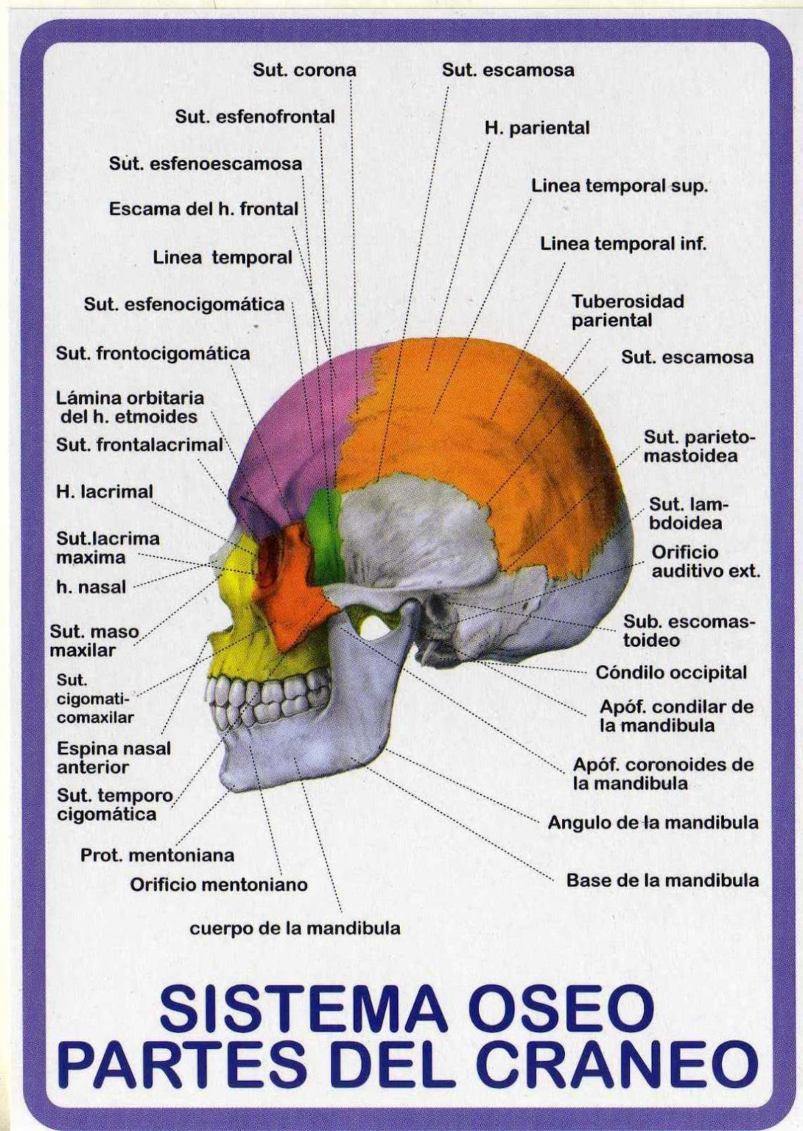 ATLAS DE ANATOMÍA HUMANA: SISTEMA OSEO - PARTES DEL CRÁNEO