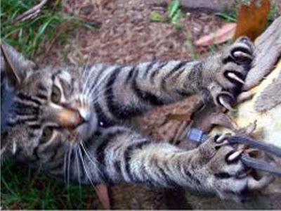 Apa itu Declaw pada kucing???