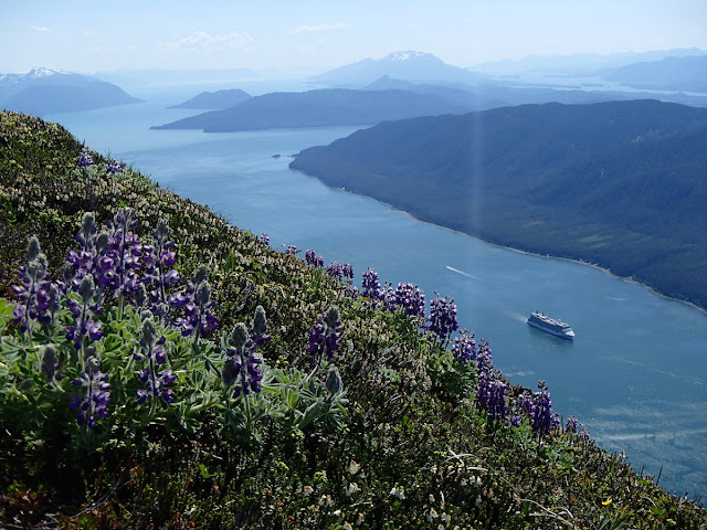 Lupines and a cruise ship in Gastineau Channel