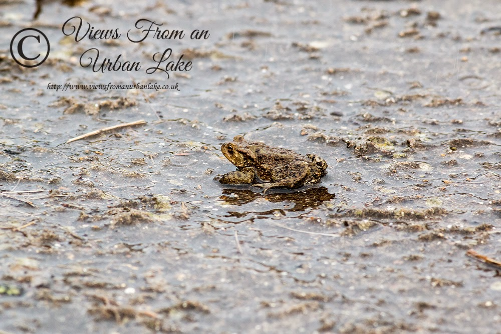 Common Toad - Manor Farm, Milton Keynes