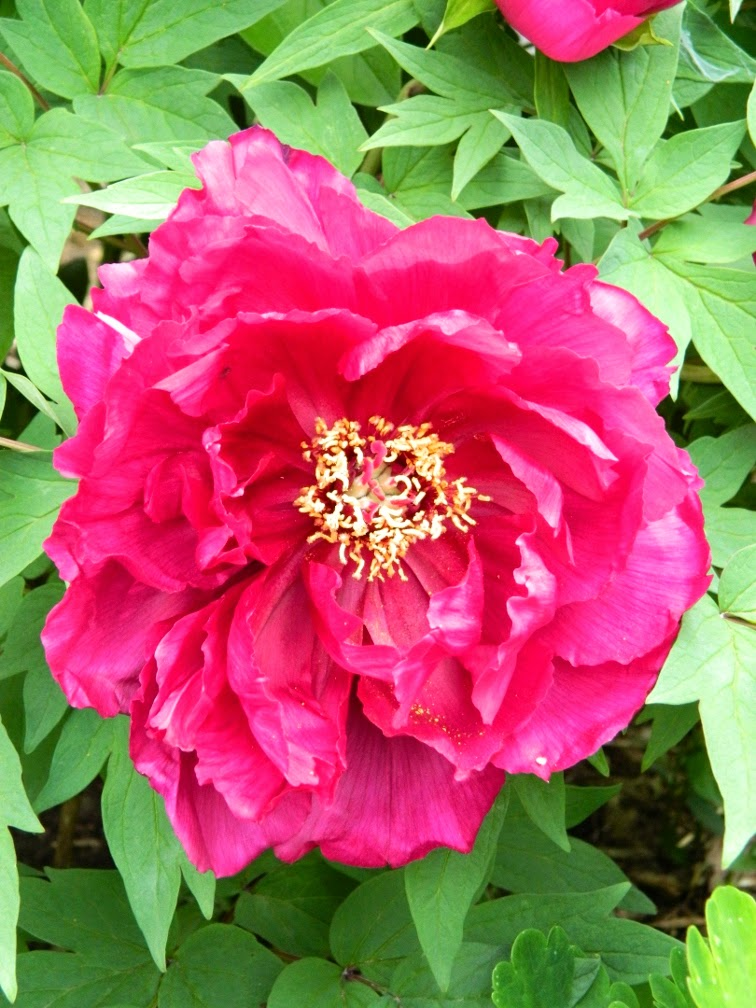 Red tree peony Paeonia suffruticosa by garden muses-not another Toronto gardening blog
