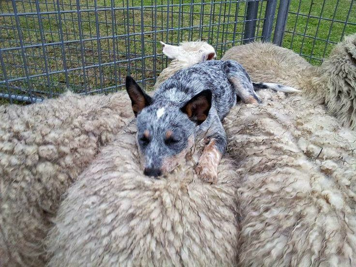 Cute dogs - part 6 (50 pics), dog sleeps on sheep's back