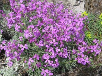 Lunaria annua (Medaglioni del Papa)