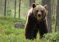 Mitt första björnmöte