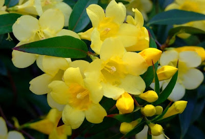 Gelsemium sempervirens Carolina Jasmine yellow jessamine evening trumpetflower woodbine