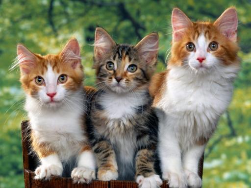 Il Gene Del Rosso Nei Gatti Pets Life