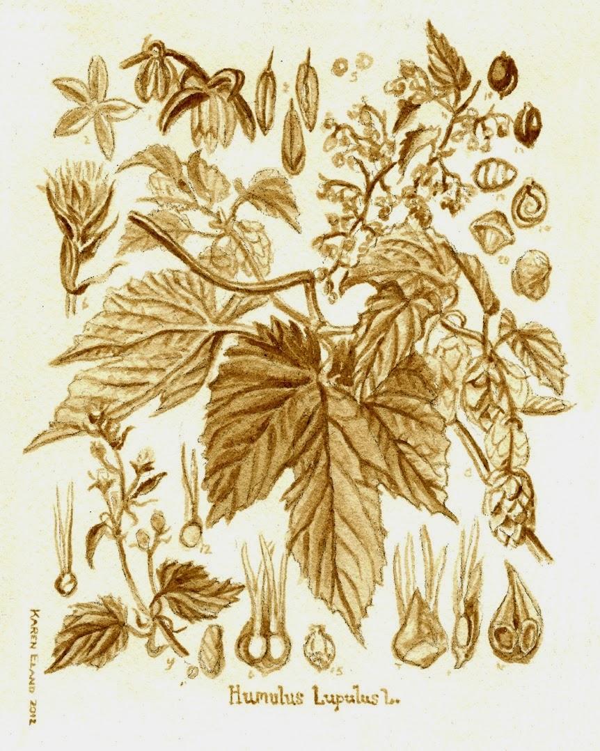 28-Hops-Botanical-Karen Eland-Vintage-Looking-Beer-and-Water-Paintings-www-designstack-co