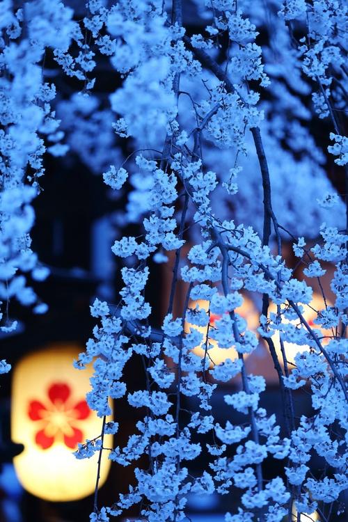 Cherry Blossom Noite, Kyoto